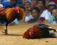 İzmir'de kanatlı hayvanları koruma derneğinde horoz dövüşü