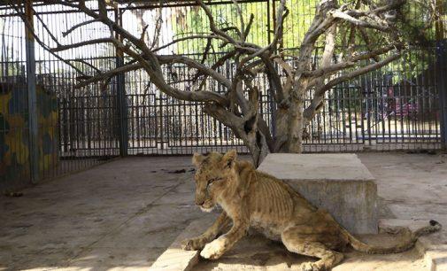 Sudan'da aslanlar ekonomik kriz nedeniyle ölüme terk edildi