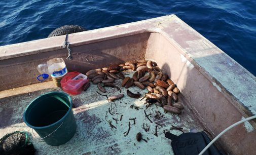 Dikili'de avlanan deniz patlıcanları Uzak Doğu'ya ihraç ediliyor