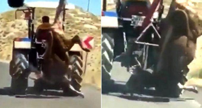 İnsanlıktan nasibini almamış: Kestiği kurbanlık ineği, traktörün arkasında asılı götürdü