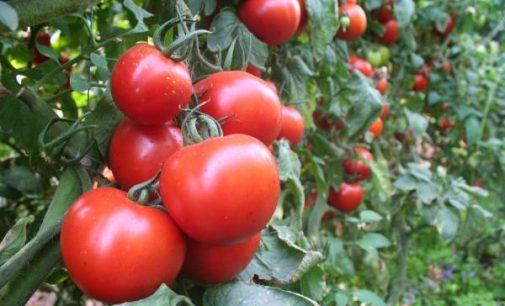 Domates üreticileri tepkili: Tarlada 40 kuruş, markette dört lira