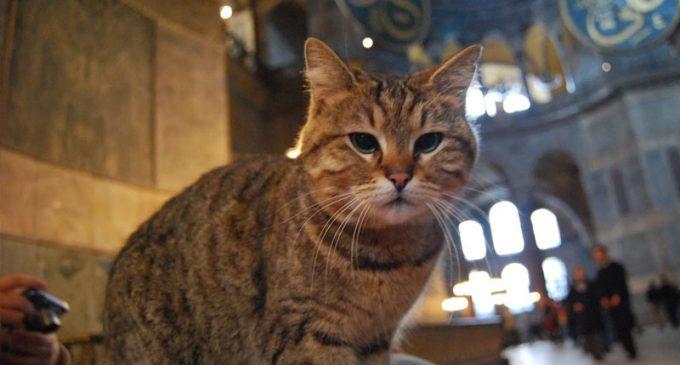 16 yıldır yaşadığı Ayasofya'da yoğunluktan strese girdi: Kedi Gli ölümle savaşıyor