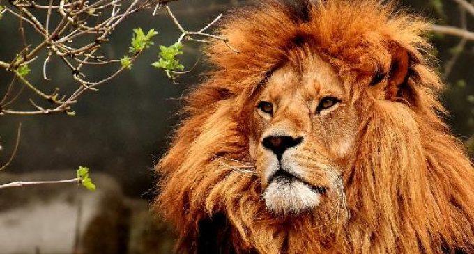 Covid-19 hayvanlara sıçradı: Hindistan'da sekiz aslanın testi pozitif çıktı