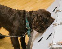Almanya'da köpekler koronavirüs testi yapacak